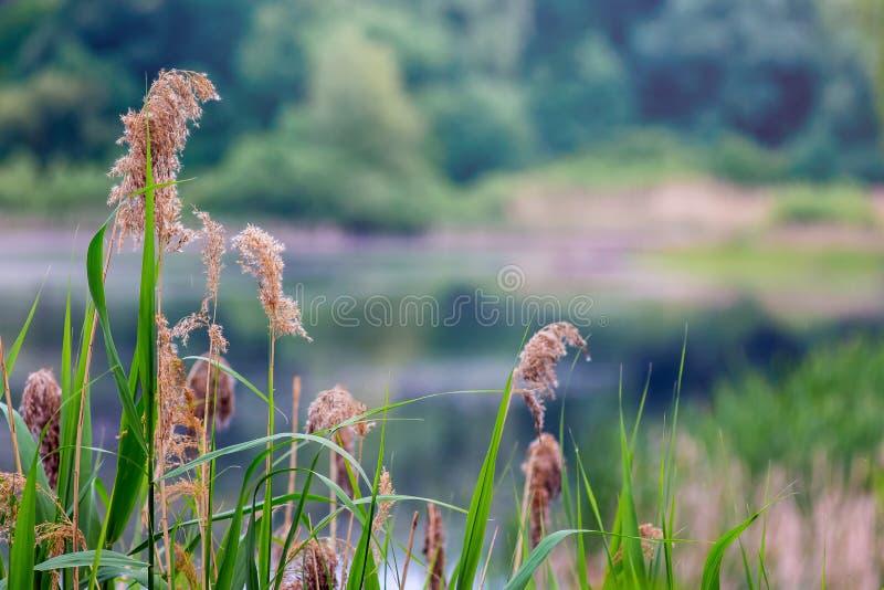 在河岸的老芦苇反对森林好spri背景  库存图片
