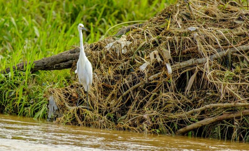 在河岸的长的收缩的白鹭 库存照片