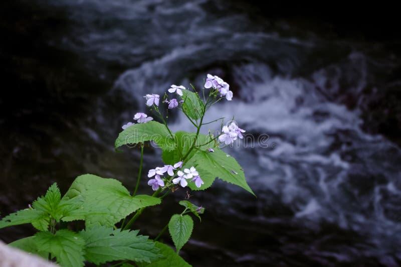 在河旁边的华美的白花 库存图片