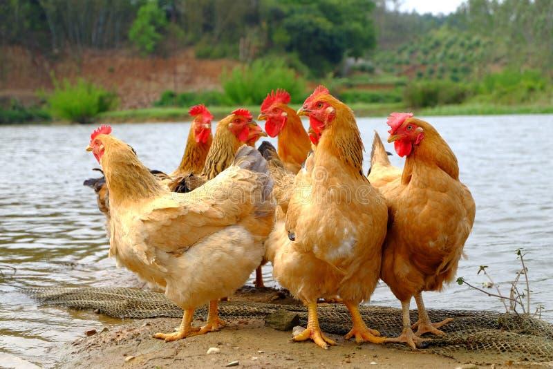 在河沿的母鸡 库存照片