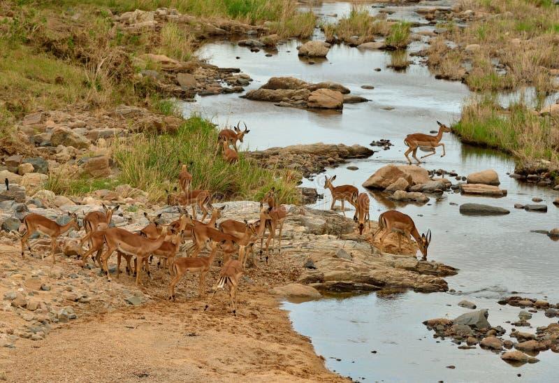 在河流桥渡的飞羚牧群 免版税库存照片