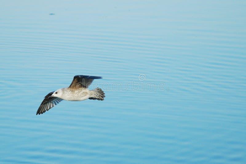 在河海鸥 免版税库存照片