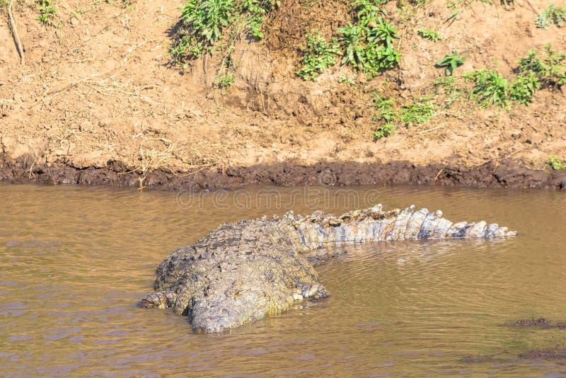 在河玛拉的尼罗鳄鱼 肯尼亚mara马塞语 闹事 免版税库存照片