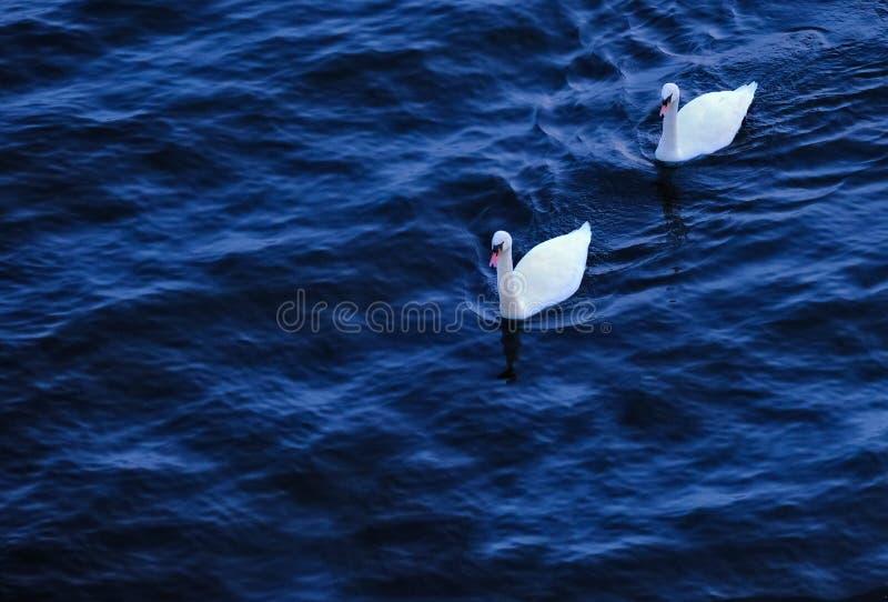 在河的二只天鹅 免版税库存照片
