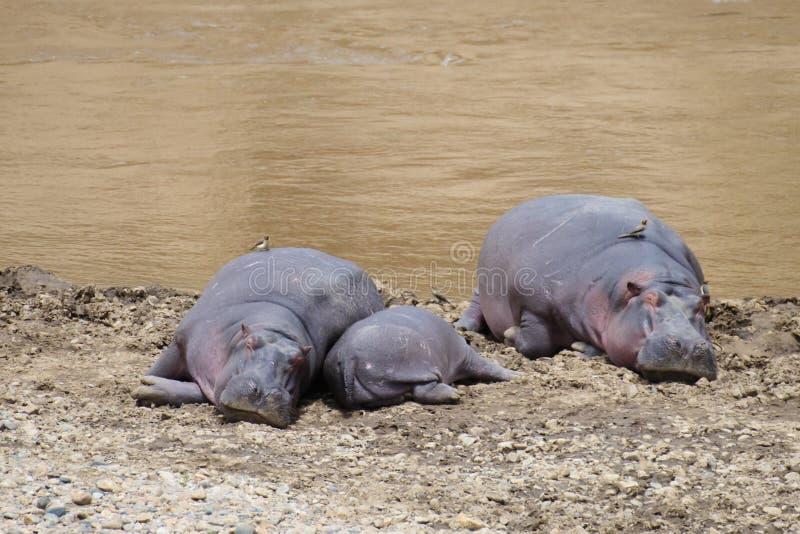 在河的河岸的河马家庭 图库摄影