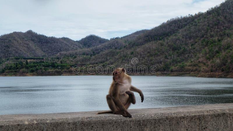 在河的猴子 免版税库存照片