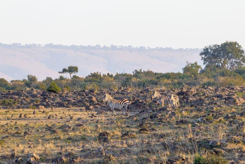 在河的石河岸的斑马 肯尼亚mara马塞语 免版税库存照片