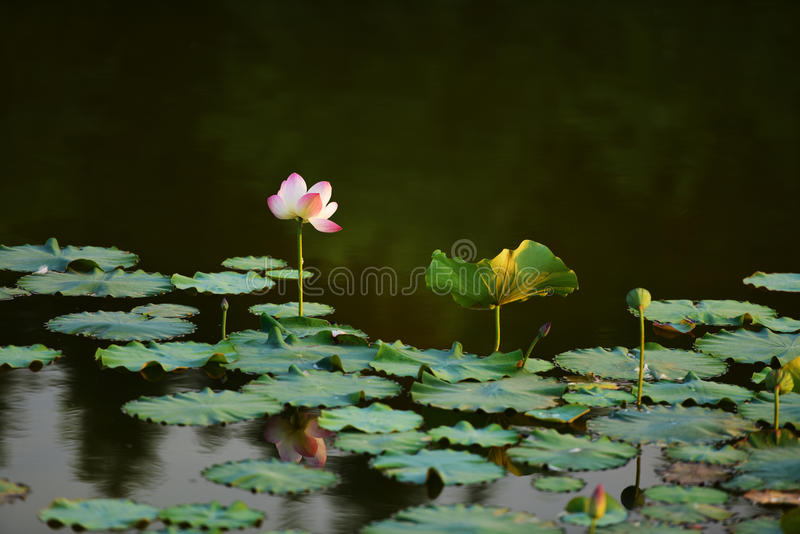 在河的纯净的莲花有温暖的黎明阳光的 库存照片