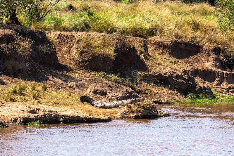 在河的陡峭的河岸的一条大鳄鱼 肯尼亚mara马塞语 库存图片