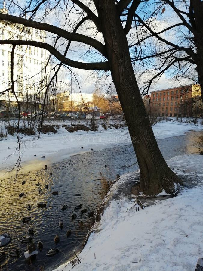 在河的鸭子在冬天公园 免版税库存图片