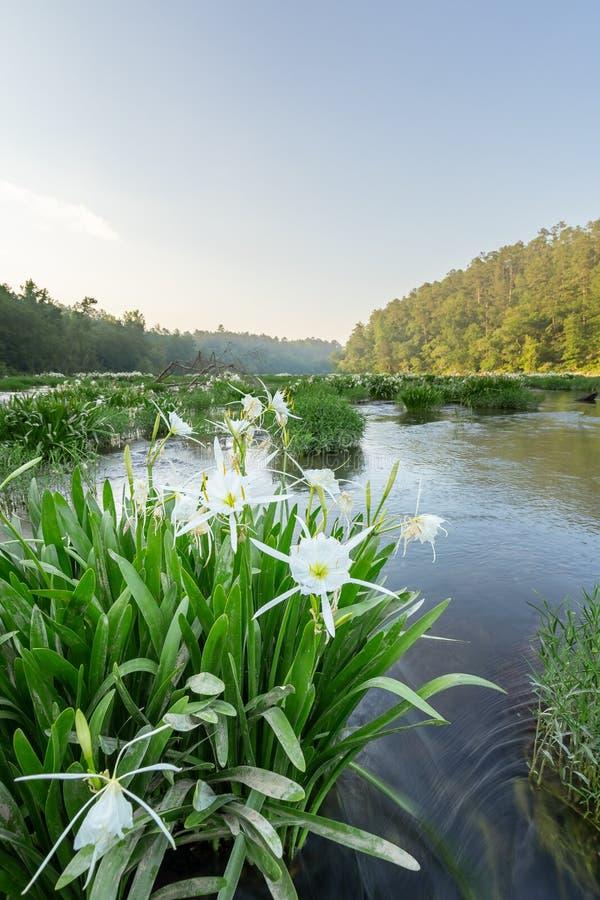 在河的Lillies 免版税图库摄影