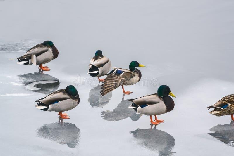 在河编组在冰的鸭子在冬天我 免版税库存照片
