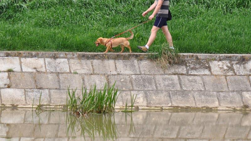 在河附近的狗步行 免版税库存照片