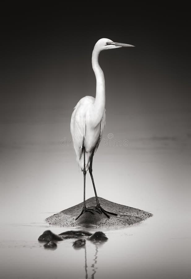 在河马的极大的空白白鹭 免版税库存图片
