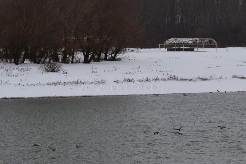在河Borcea的野鸭 免版税库存图片