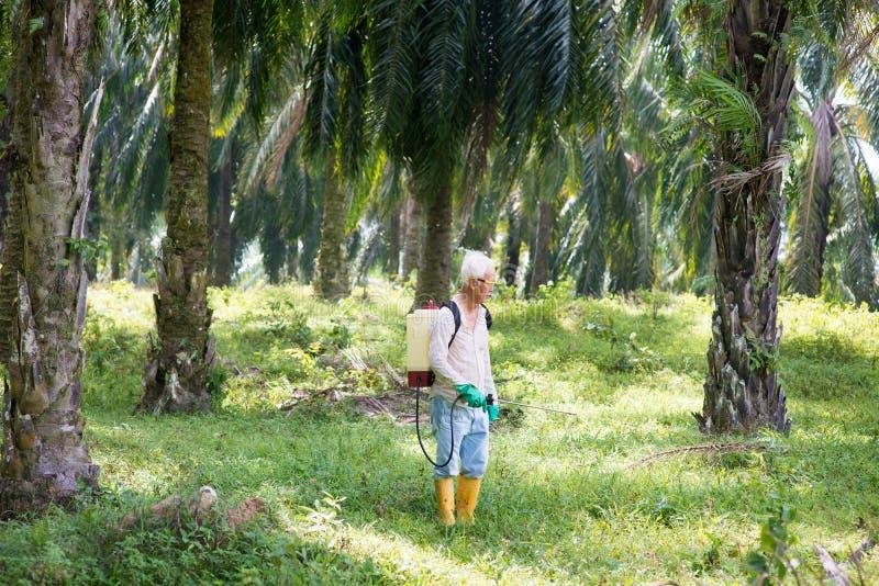 在油棕榈树的喷洒的除草药 免版税库存照片