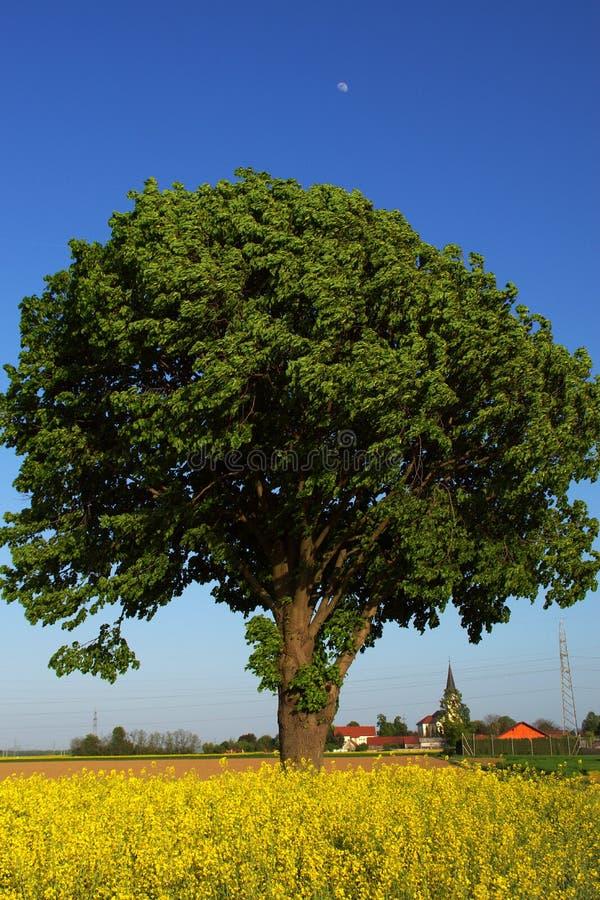 在油菜领域的树在春天 免版税库存图片