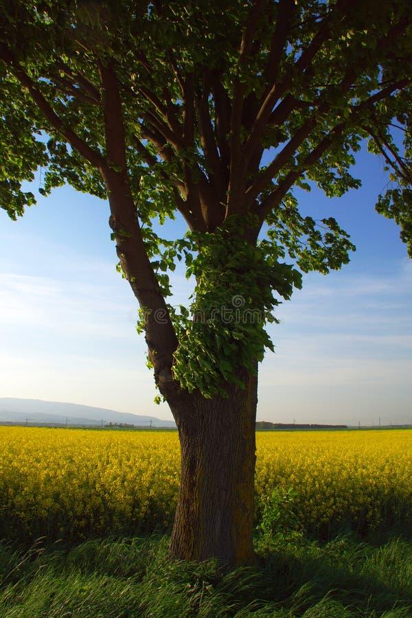 在油菜领域的树在春天 免版税图库摄影