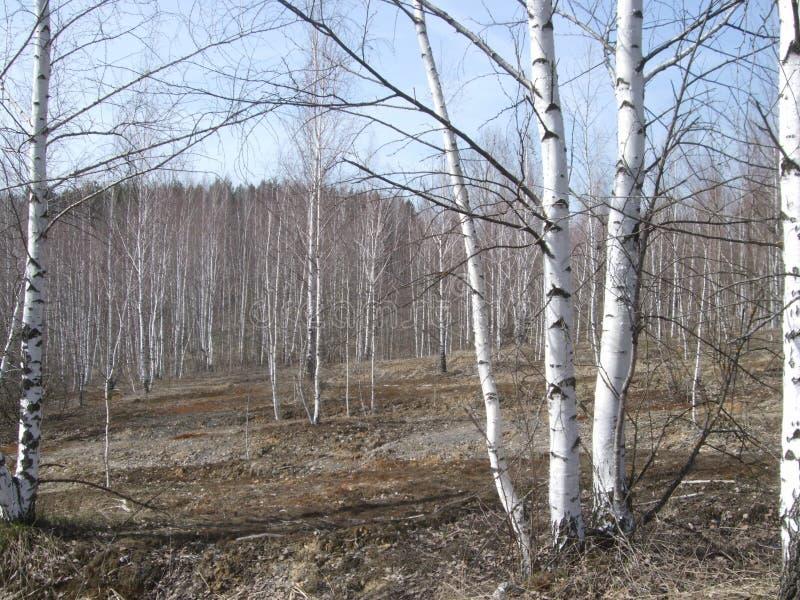 在沼地的桦树 库存图片