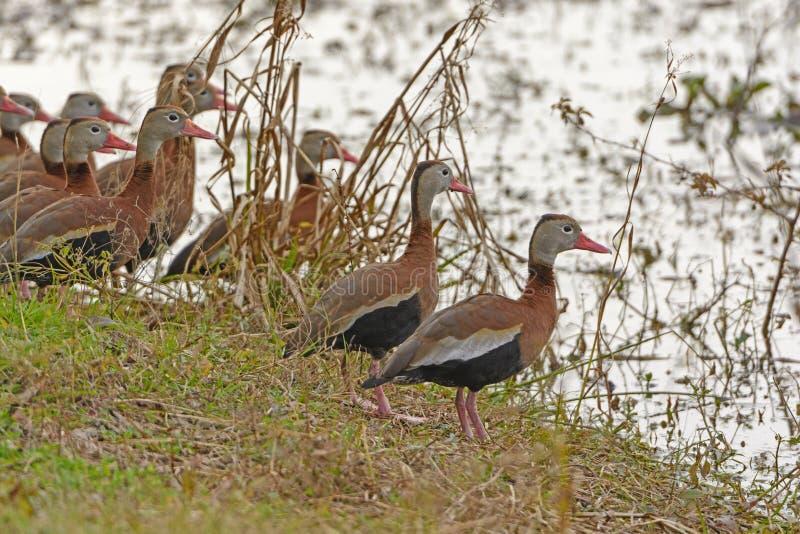 在沼泽地岸的黑鼓起的吹哨的鸭子 库存照片