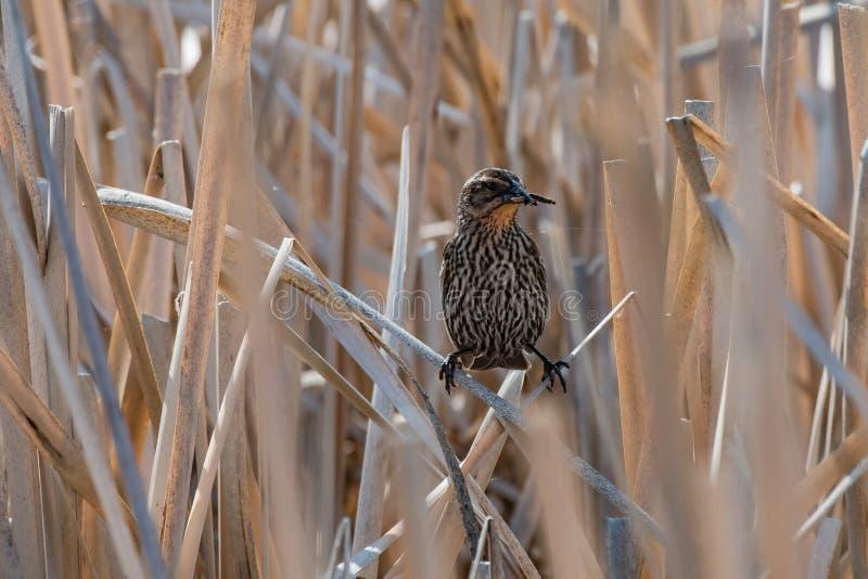 在沼泽地的零食时间 免版税库存照片