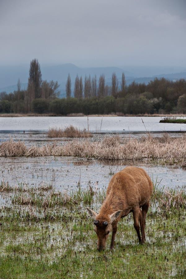 在沼泽地的鹿 库存图片