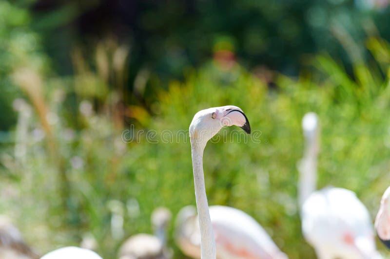 在沼泽的火鸟 免版税库存照片
