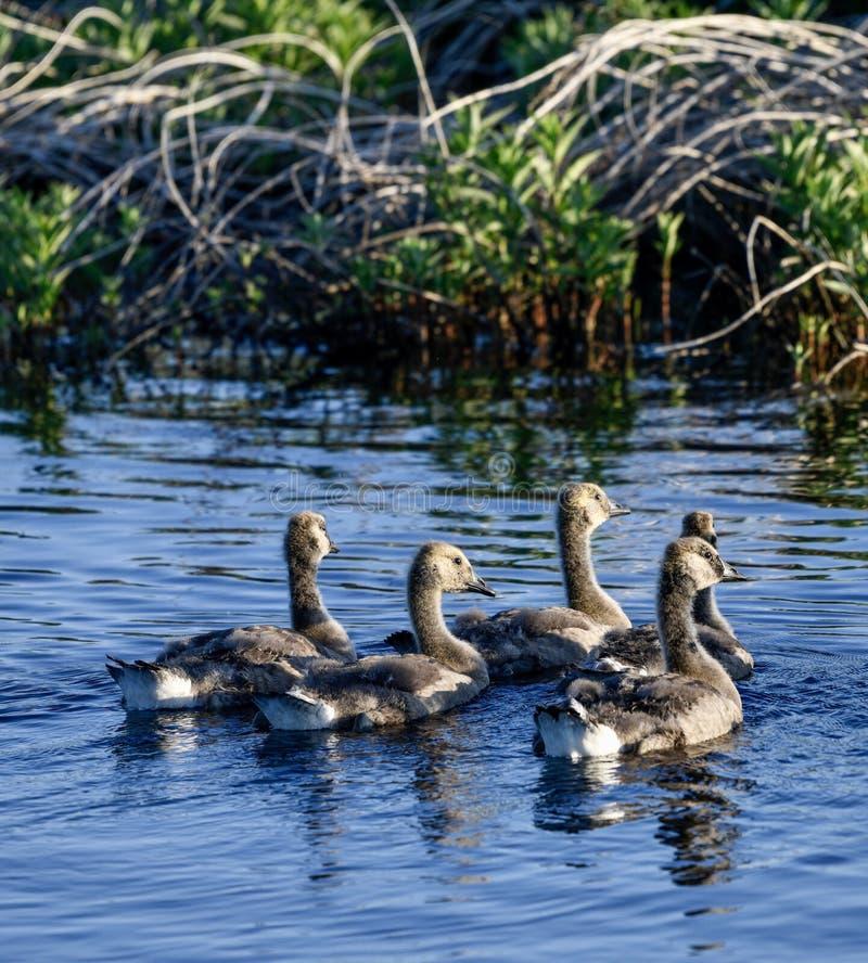 在沼泽的加拿大幼鹅 免版税图库摄影