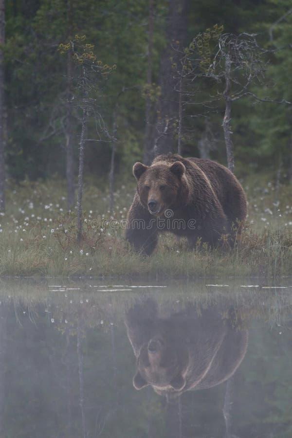 在沼泽的大男性熊 库存图片