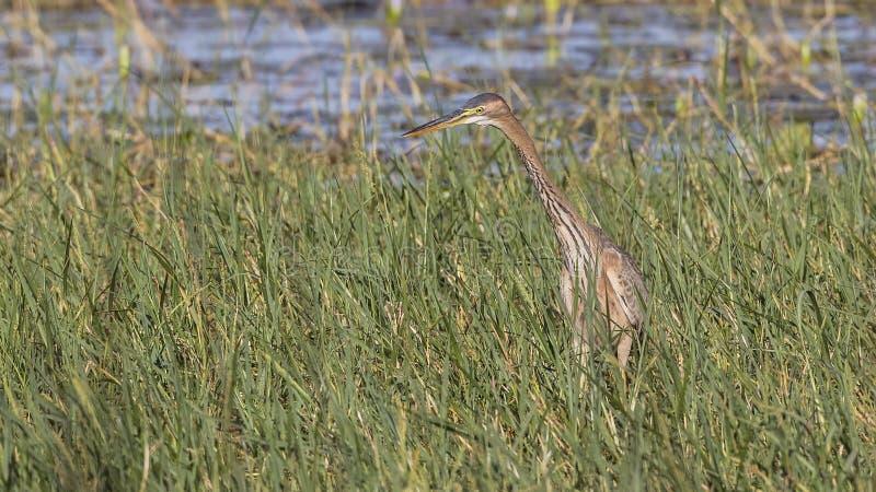 在沼泽的巨人苍鹭 免版税库存图片