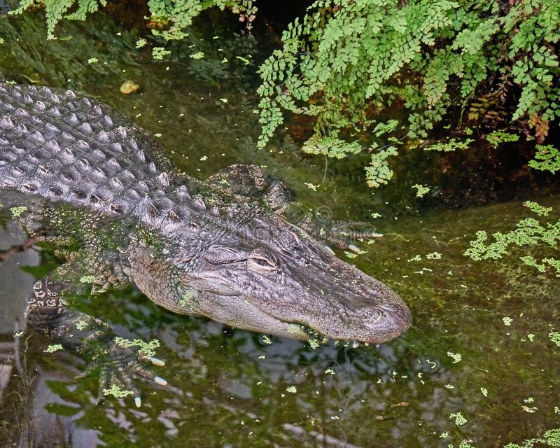在沼泽的巨大的aligator 库存照片