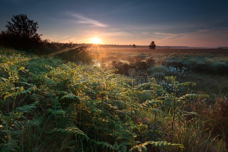 在沼泽的有薄雾的日出与蕨 免版税库存图片