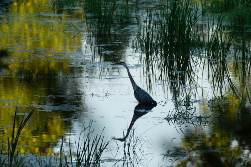 在沼泽的蓝色苍鹭渔 免版税库存照片