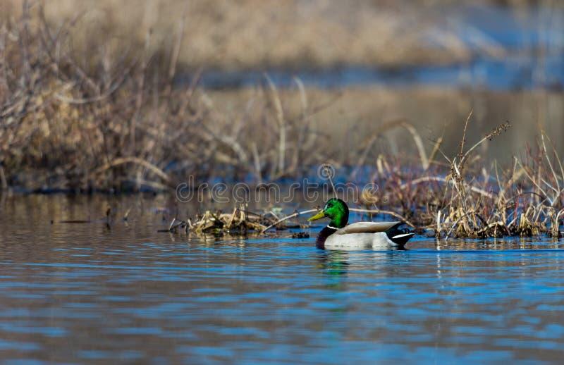 在沼泽的野鸭在魁北克 图库摄影