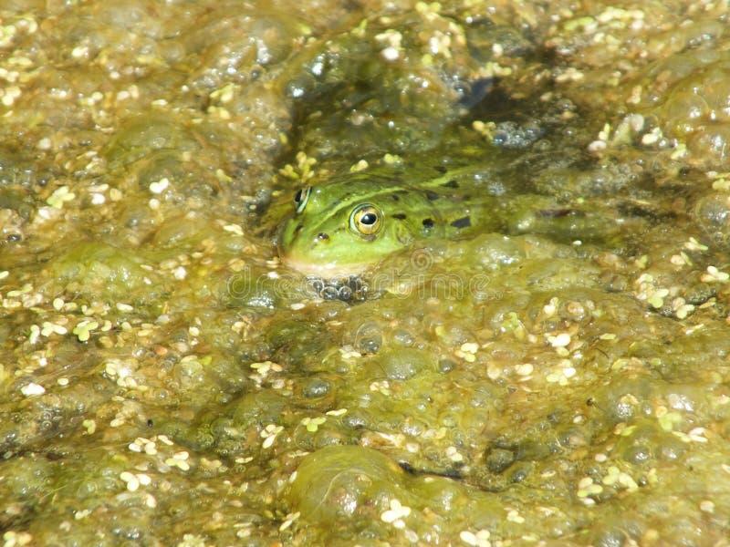 在沼泽的青蛙 库存照片