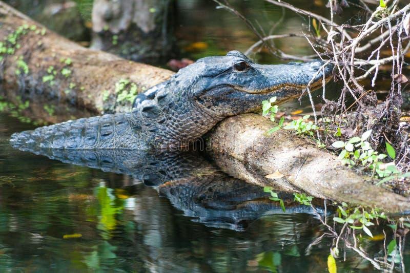 在沼泽的鳄鱼 免版税库存照片