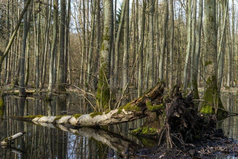 在沼泽领域的下落的树 免版税图库摄影