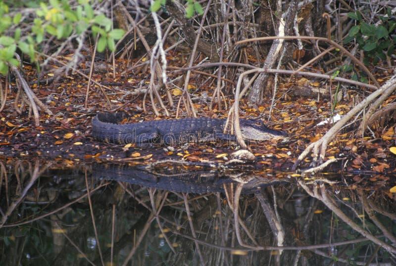 在沼泽, JN丁亲爱的全国野生生物保护区, Sanibel, FL的鳄鱼 库存图片