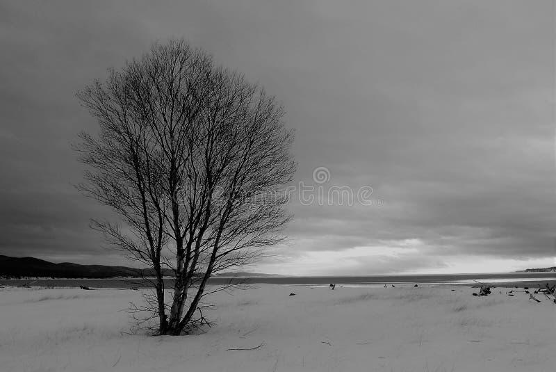 在沿海沙丘的孤立白桦 库存照片