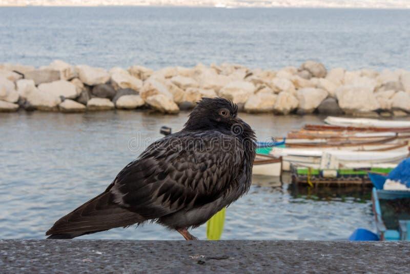在沿海黑色的孤独的灰色灰色鸽子潜水坐反对海和小船 城市野生生物概念 免版税图库摄影