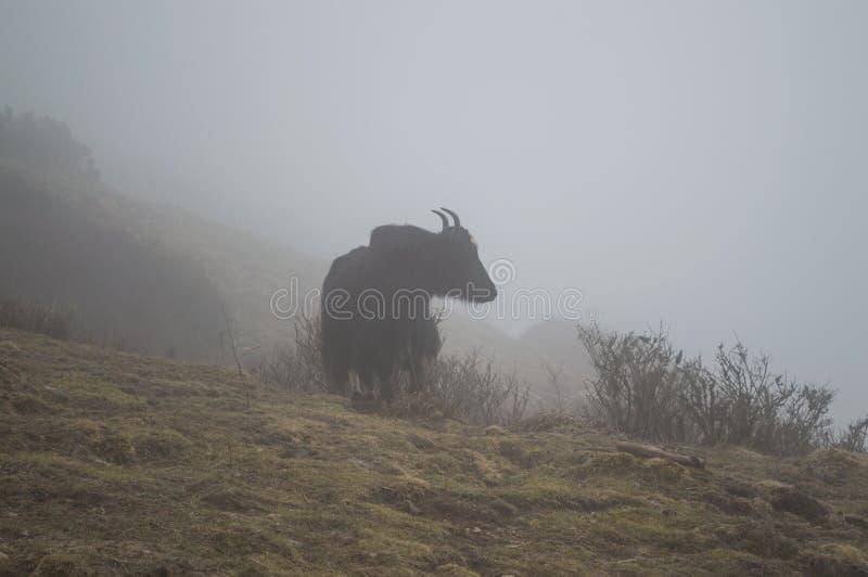 在沿珠穆琅玛营地艰苦跋涉的云彩覆盖的牦牛在尼泊尔喜马拉雅山 库存图片