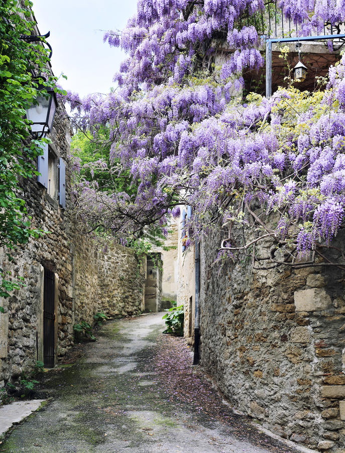 在法国村庄街道上的开花的紫藤  免版税库存照片