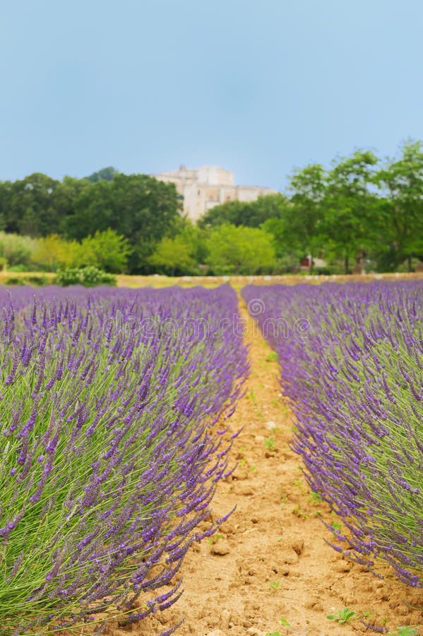 在法国drome的淡紫色 库存照片
