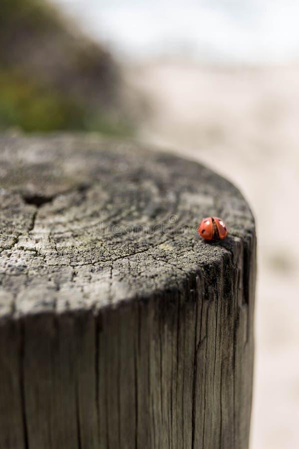 在波尔图,葡萄牙的瓢虫 库存图片