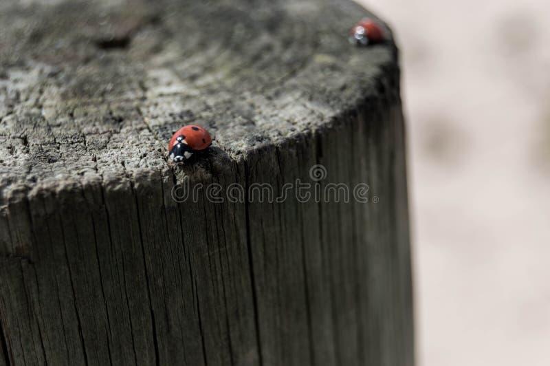 在波尔图,葡萄牙的瓢虫 免版税库存图片