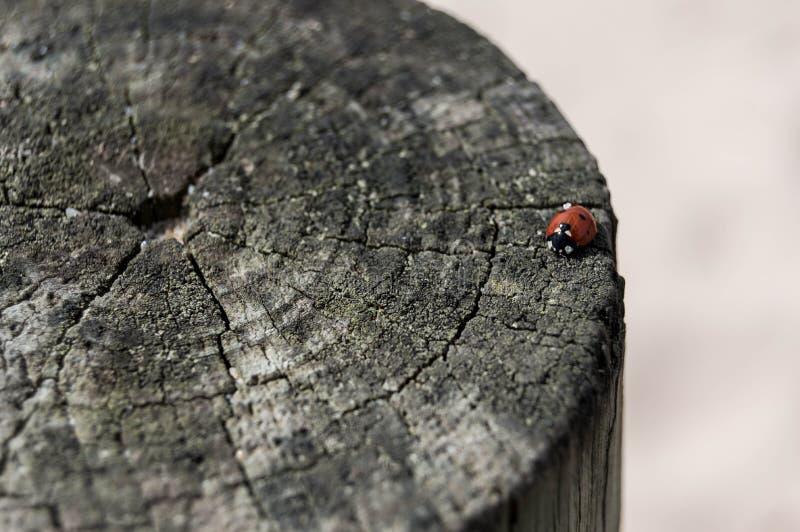 在波尔图,葡萄牙的瓢虫 免版税库存照片