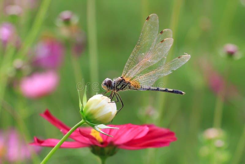 在波斯菊花的蜻蜓. 开花, 绿色.图片