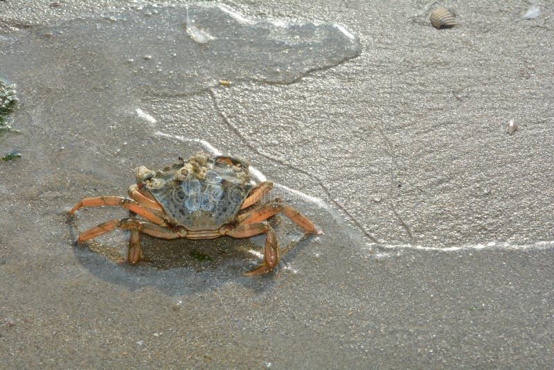 在波浪的螃蟹在北海海岸 免版税图库摄影