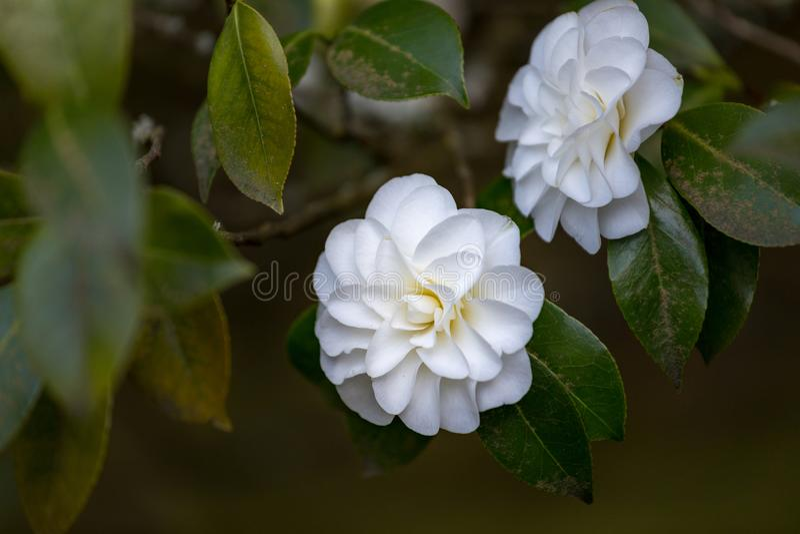 在波特兰日本庭院,俄勒冈的美丽的山茶花 免版税库存图片