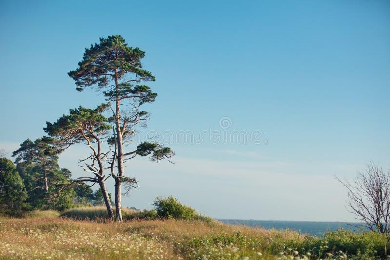 在波罗的海海岸的杉树 免版税库存图片